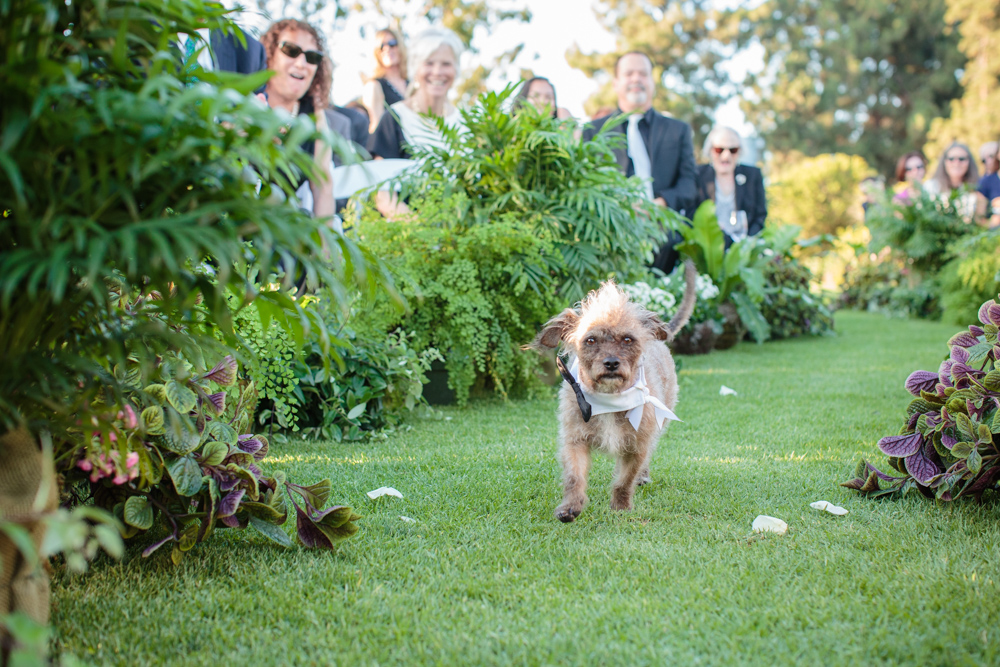 Wedding ceremony, dog ring bearer in action