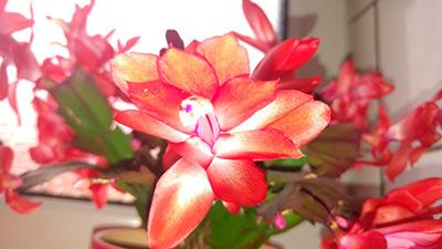 Krismas-Flower-Photo