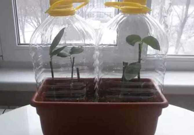 Как посадить и вырастить розу из букета в домашних условиях