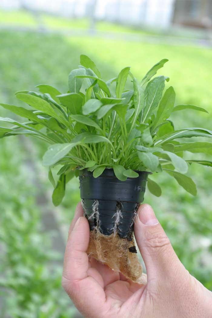 Выращивание руколы на огороде. Бизнес: выращивание полезной рукколы Рукола выращивание и уход в теплице
