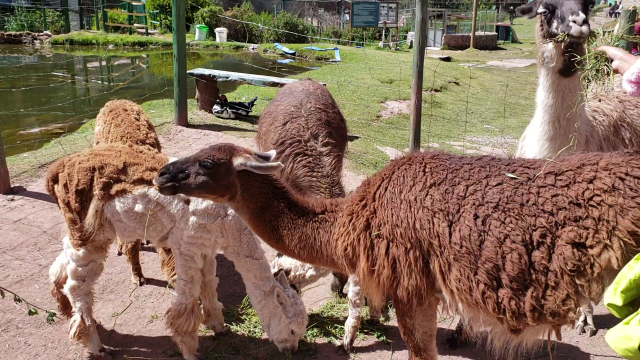 What's a Llama? Bucket List Feeding Llamas in Peru! 13 snapshot 0032