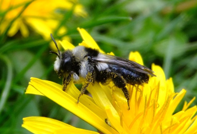 Bees used for mining areas recovery