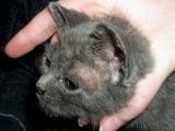 Почему у кота или кошки грязные уши
