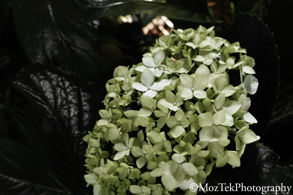 Macro Photography,Hydrangea Flower in Rwanda. (4/6)