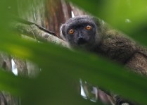 White-fronted brown lemur (female)