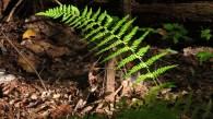 Pretty fern