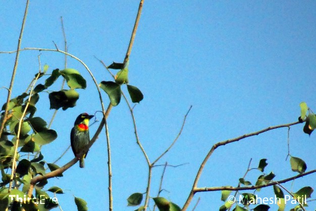 Coppersmith or Crimson Breasted Barbet