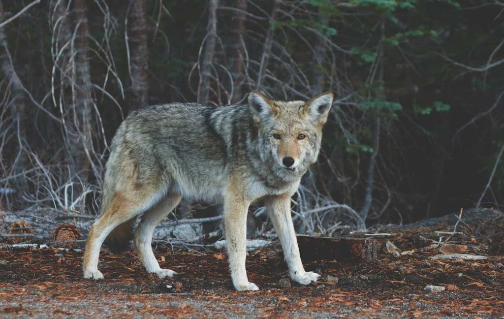 Stock photo - not an actual wolf seen in Methuen