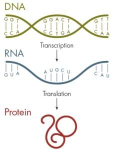 Расширенный генетический алфавит транскрипция и трансляция