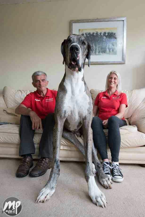 wp-1469594516558-1 Checkout The World's Largest Dog (Photo)