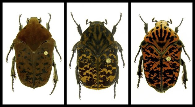 Scientists Discover 3 New Beetles and Name Them After Dragons in 'Game Of Thrones'