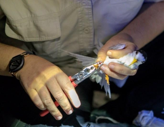 Fairy terns banding 20Jan18 1 (450x349)