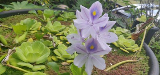 Eichhornia crassipes en fleur
