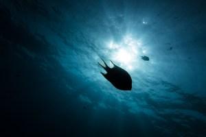 Silouhette of a reef fish