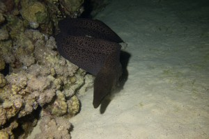 A moray heading out for prey during the night
