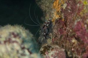 Red striped shrimp