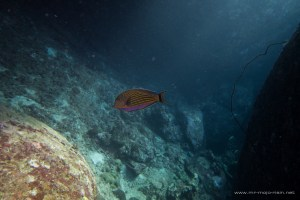 Blue-lined surgeonfish