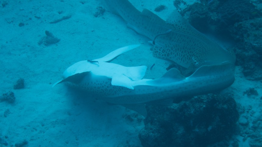 Mating Leopard sharks