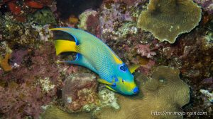 The queen angel fish is shy and timid as all angel fish