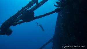 A Tarpon patrolling the wreck