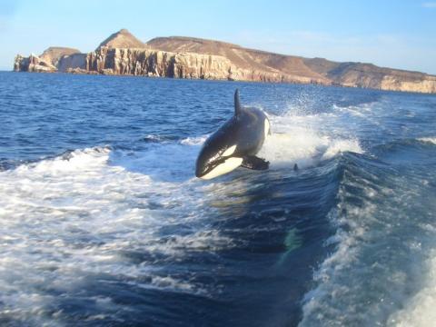 Ballenas en el Mar de Cortés, el Acuario del Mundo