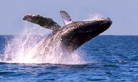 Ballena en el Océano Pacífico
