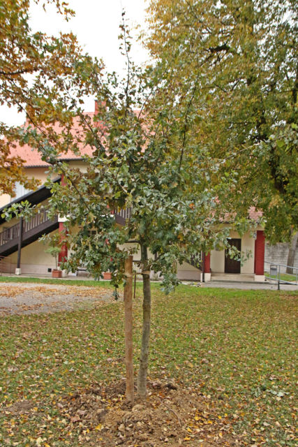 Quercus robur – hrast lužnjak