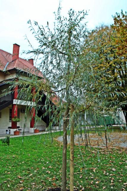 Salix alba vitallina 'Pendula'– bijela žalosna vrba