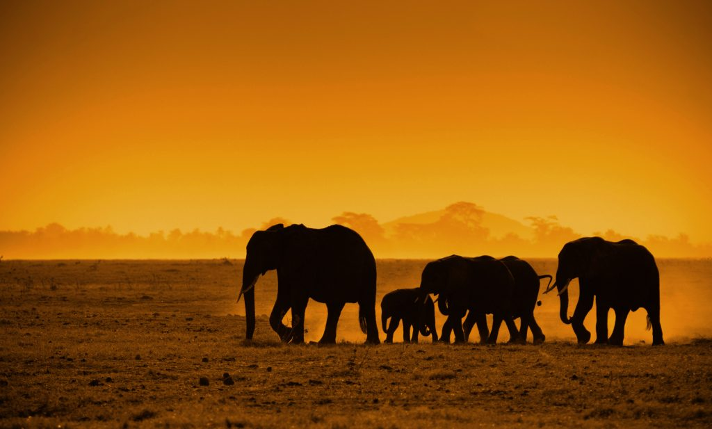 silhouettes of elephants, safari