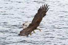 Eagle diving for food