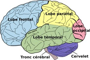 les-lobes-cerebraux