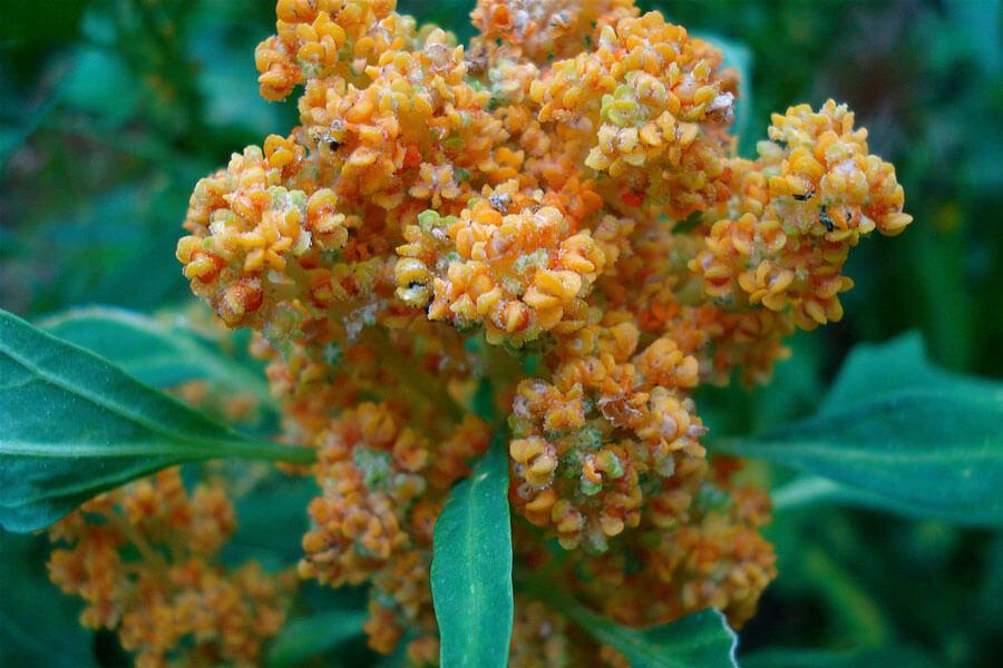 quinoa-legume-feuille-naturel