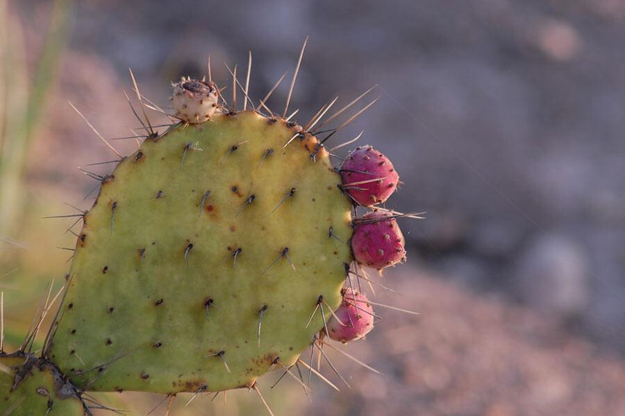 Nopal : un cactus pour perdre du poids ?