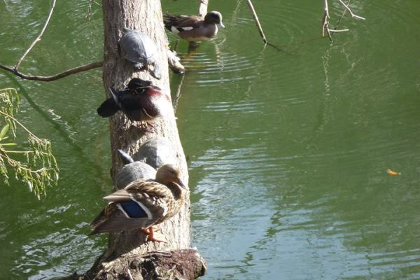Ducks on a tree at Heavenly Pond