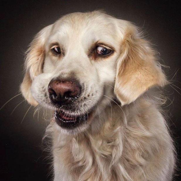Image anh-hai-huoc-ve-khuon-mat-cua-cho-023 in post Những bức ảnh hài hước chụp khi các chú chó há mồm đớp thức ăn