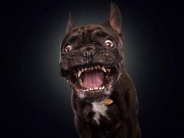 Image anh-hai-huoc-ve-khuon-mat-cua-cho-050 in post Những bức ảnh hài hước chụp khi các chú chó há mồm đớp thức ăn