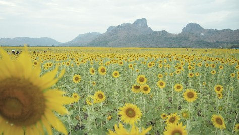 Panoramic Sunflower Fields of Lopburi