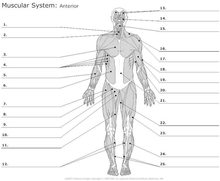 Muscular System - MR. DODD WALDWICK HIGH SCHOOL