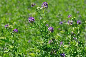 Alfalfa | plant | Britannica