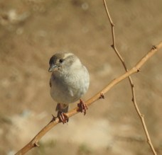 Sparrow - quite cool ..never bothered even as wind was blowing its fragile body to one side!