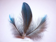feathers of a