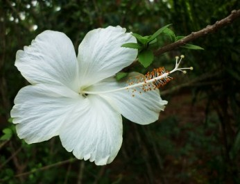 White Hibiscus - the pristine presence as if meant for some ethereal purpose!