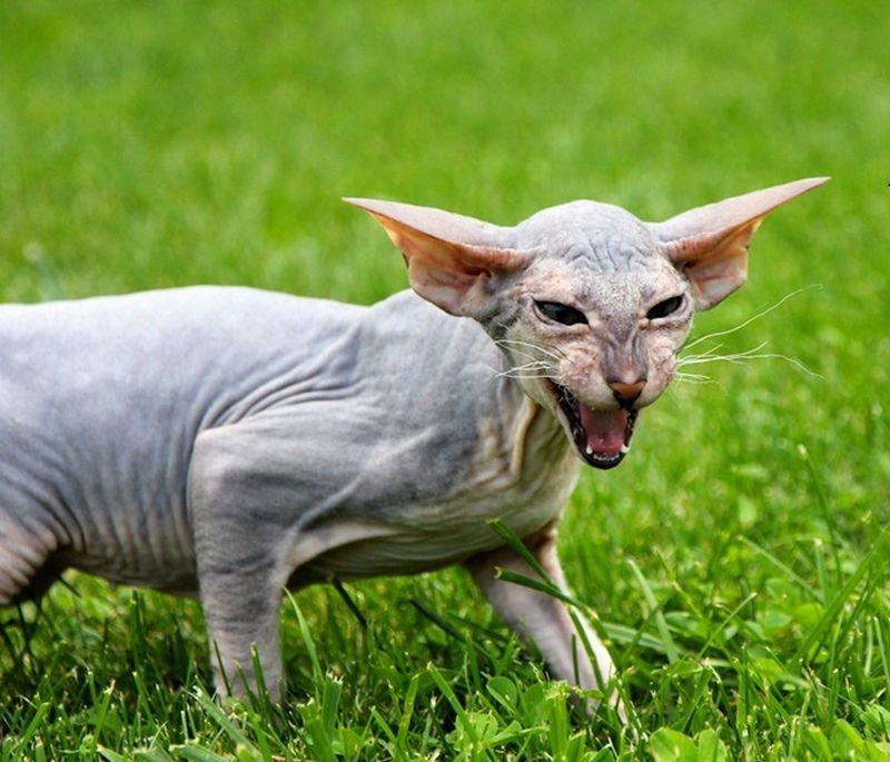 termasuk kucing tercantik di dunia