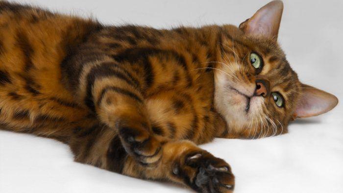 kucing Naga Li