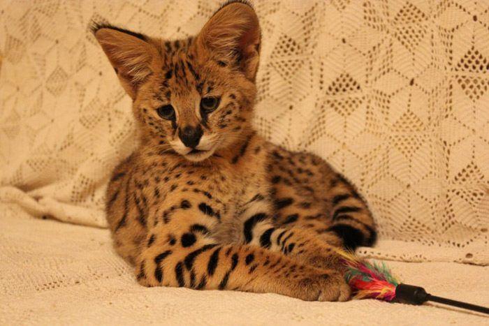 Anak kucing sabana