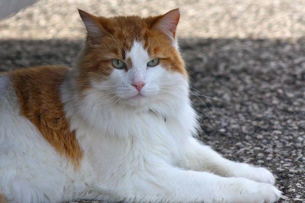 Van Turki di jalan, termasuk kucing tercantik di dunia