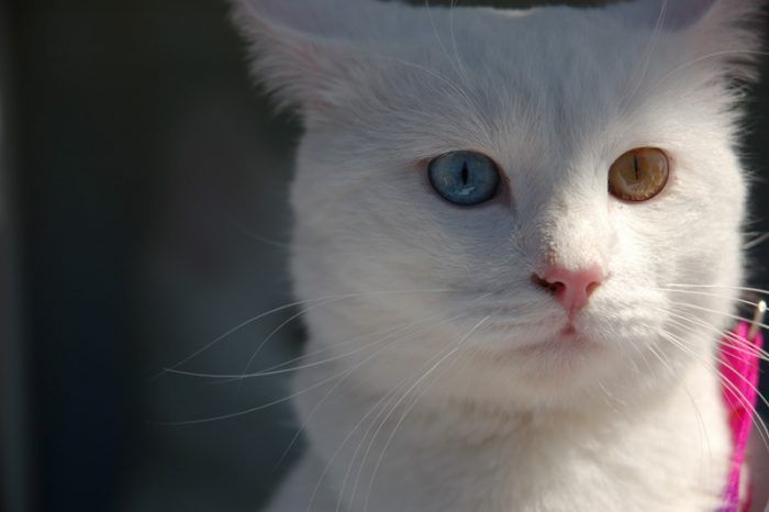 kucing Anatolia, termasuk kucing tercantik di dunia