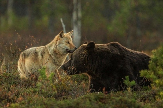 55cb6b91-fe9c-4fa7-ba75-7f800a0a0a64-rare-animal-friendship-gray-wolf-brown-bear-lassi-rautiainen-finland-18-previewOrg