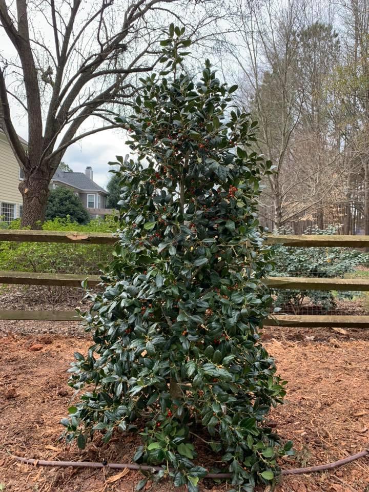 Privacy Plantings - Nellie Stevens Holly Trees 4