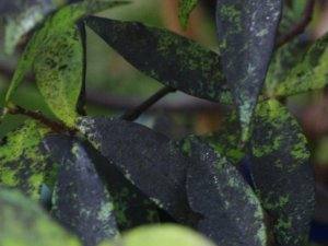 Sooty-mould-2-web
